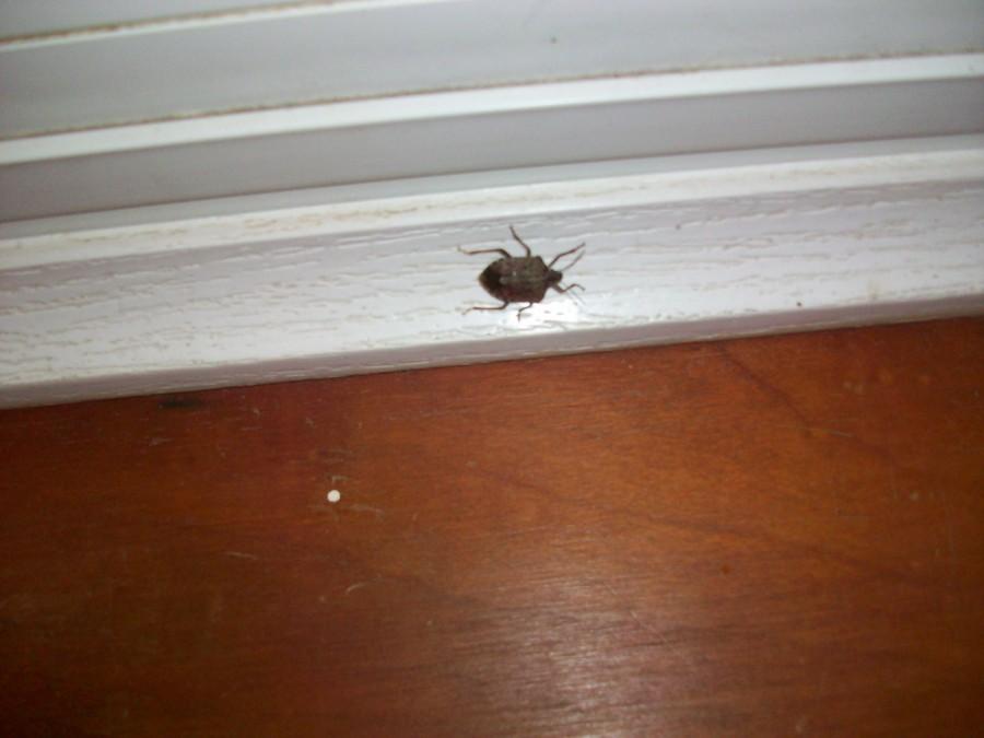Stink+Bugs